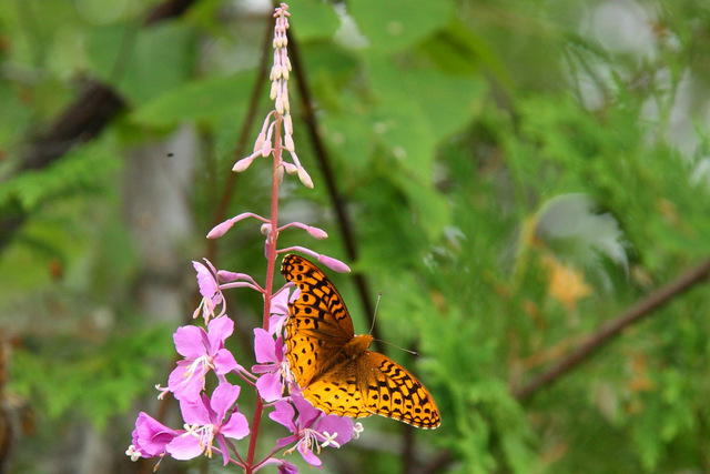 Fritillary (Aphrodite or Atlantic?) on Fireweed on Laurel Lake shore