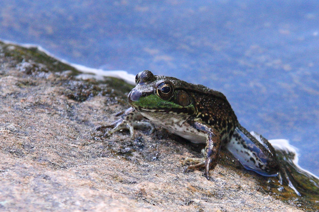 Frog staking claim to launch point from Cauchon Lake campsite
