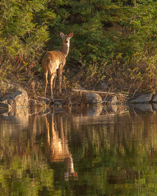 White-tailed Deer on Head Lake