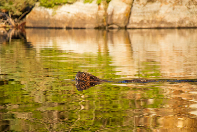 Beaver on Head Lake