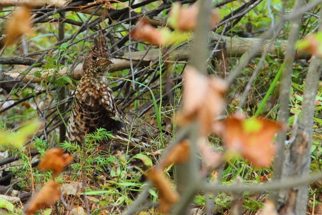 Ruffed Grouse on portage from Stratton Lake to High Falls Lake