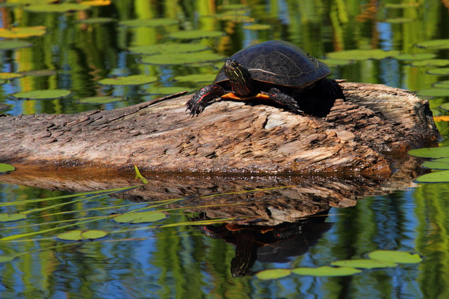 Painted Turtle on Barron River