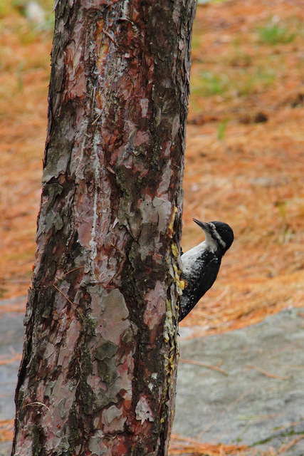 Black-backed Woodpecker in campsite on Opalescent Lake
