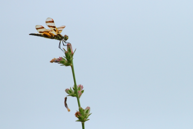 Halloween Pennant, Canon 7D with Canon 500mm, 1/8000s, f/5.6, ISO 400