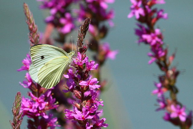Small Cabbage White Butterfly on Purple Loosestrife, Canon 7D with Canon EF 500mm, 1/3200s @ f/8, ISO 1600