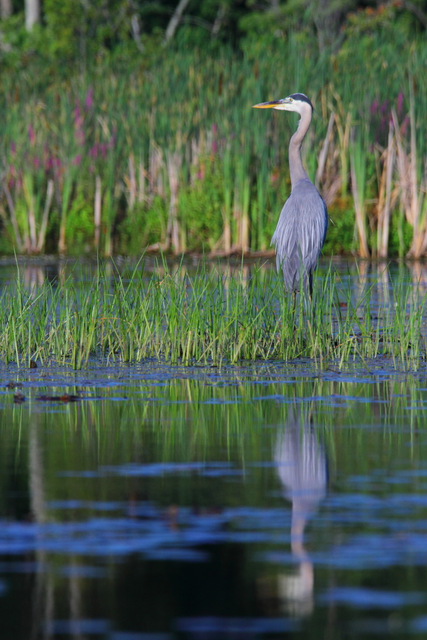 Great Blue Heron, Canon 7D with Canon EF 28-300mm @ 300mm, 1/1250s, f/8, ISO 800