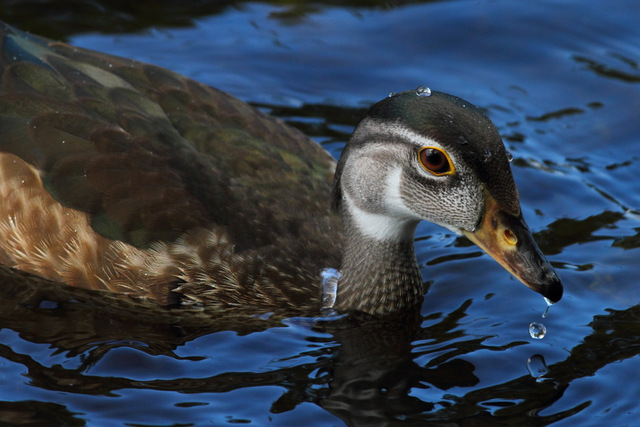 Wood Duck - Canon 7D with Canon EF 500mm, 1/640s @ f/8, ISO 400