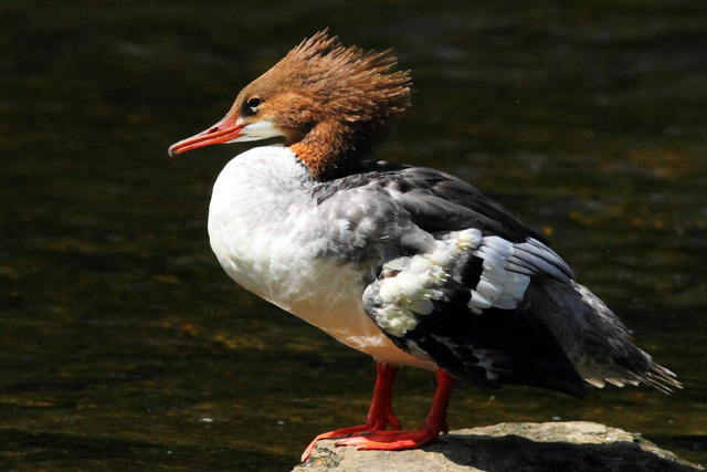 Common Merganser - Canon 7D with Canon EF 500mm, 1/5000s @ f/8, ISO 400
