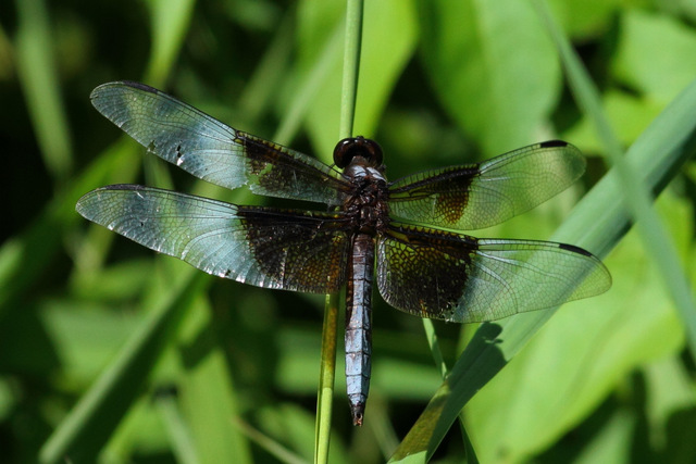Widow Skimmer, Canon 7D with Canon EF 500mm, 1/1600s @ f/8, ISO 800