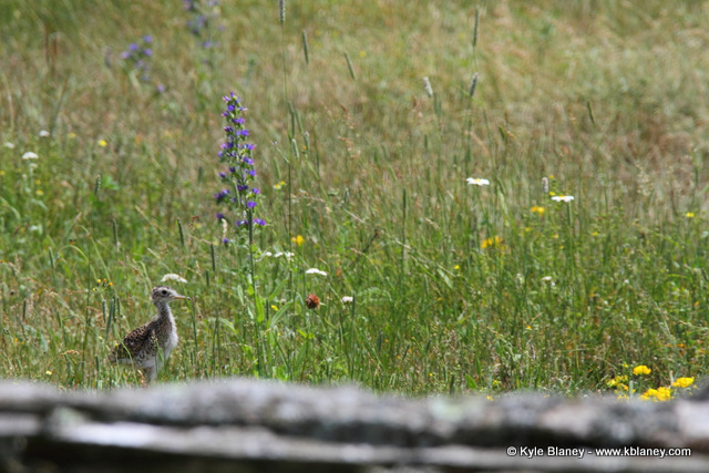 Upland Sandpiper, Canon 7D with Canon EF 28-300mm @ 300mm, f/8, 1/1000s, ISO 400