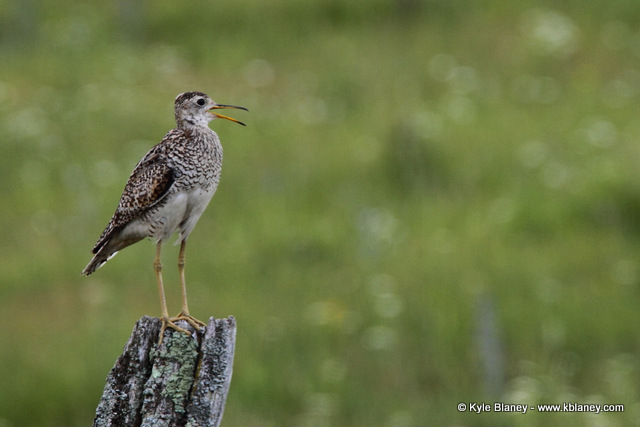 Upland Sandpiper, Canon 7D with Canon EF 28-300mm @ 300mm, f/8, 1/400s, ISO 400