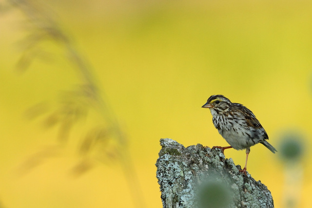 Savannah Sparrow, Canon 7D with Canon EF 500mm, f/8, 1/400s, ISO 400