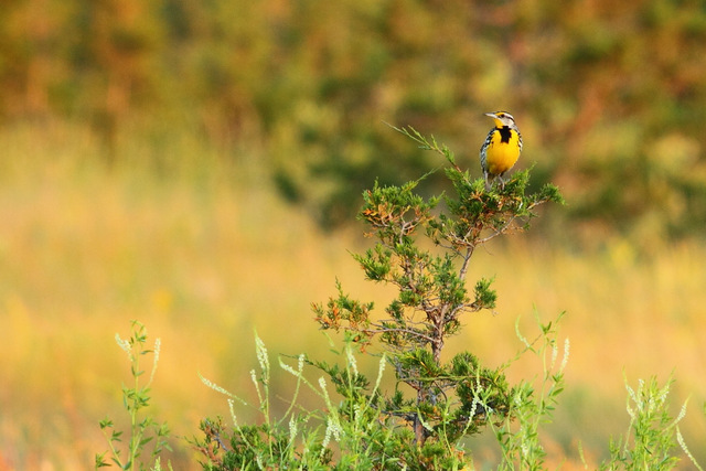 Eastern Meadowlark, Canon 7D with Canon EF 500mm, f/8, 1/80s, ISO 400