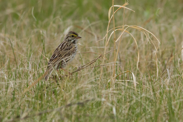 Savannah Sparrow, Oak Hammock Marsh, Manitoba, Canon 7D with Canon EF 500mm, 1/2500s @ f/8, ISO 1600
