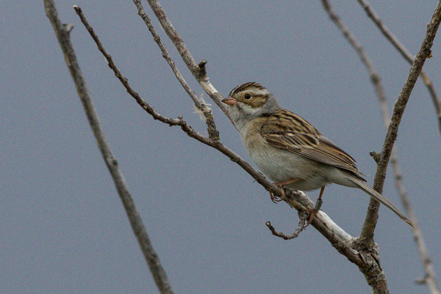 Clay-colored Sparrow, Oak Hammock Marsh, Manitoba, Canon 7D with Canon EF 500mm, 1/2500s @ f/8, ISO 1600