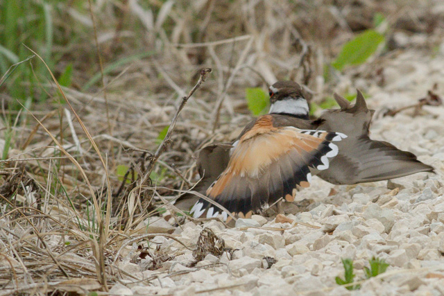 Killdeer, Oak Hammock Marsh, Manitoba, Canon 7D with Canon EF 500mm, 1/1250s @ f/8, ISO 1600