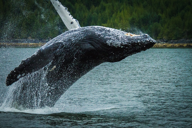 Humpback Whale, Canon 7D with Canon EF 28-300mm @ 180mm, 1/2000s @ f/8.0, ISO 1600
