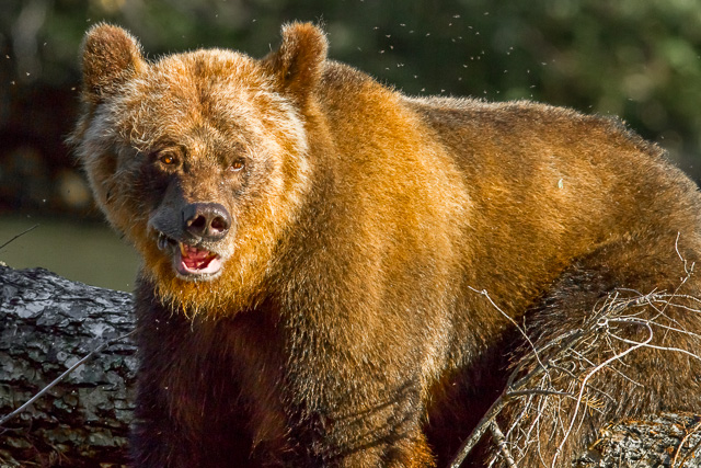 Grizzly Bear, Canon 7D with Canon EF 500mm, 1/1600s @ f/8.0, ISO 400