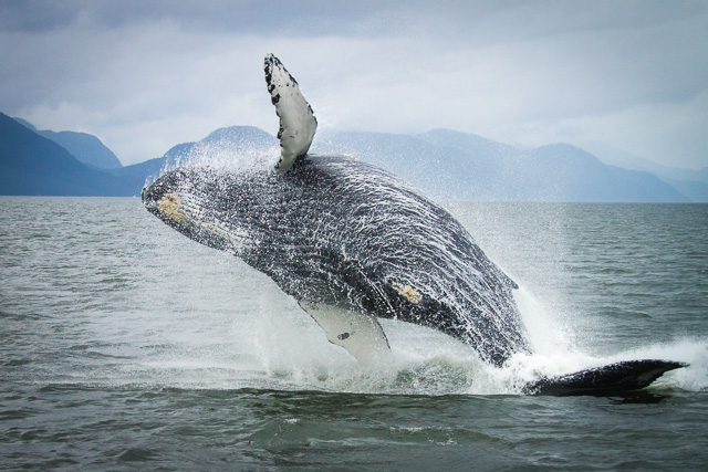 Humpback Whale, Canon 7D with Canon EF 28-300mm @ 70mm, 1/1000s @ f/8.0, ISO 800