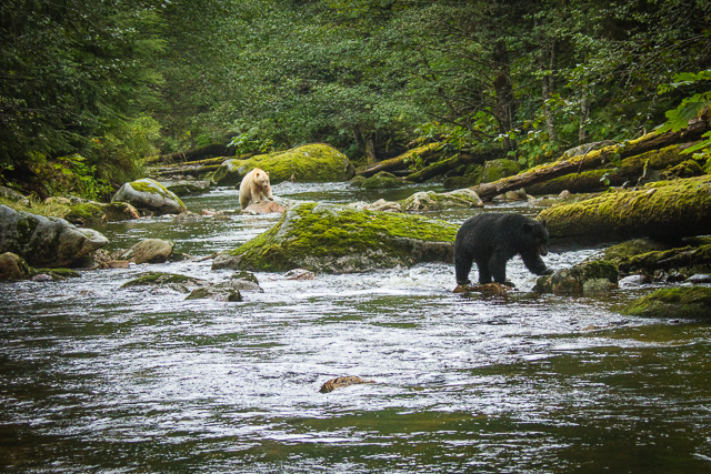 Kermode Bear & American Black Bear, Canon 7D with Canon EF 28-300mm @ 70mm, 1/1000s @ f/6.3, ISO 1600