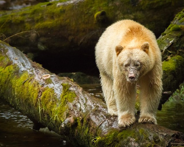 Kermode Bear, Canon 7D with Canon EF 28-300mm @ 300mm, 1/1000s @ f/7.1, ISO 1600