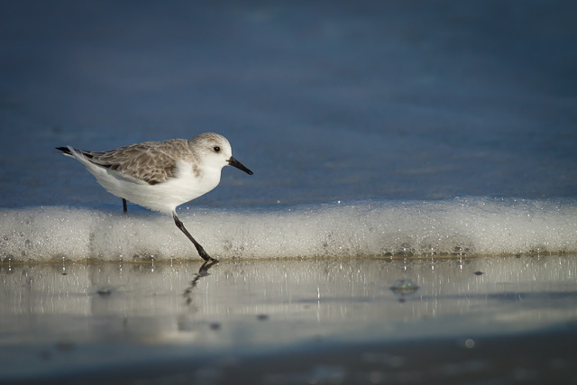 Sanderling, Canon 7D with Canon EF 500mm, 1/8000s @ f/8.0, ISO 800