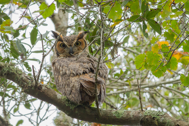 Great Horned Owl, Canon 7D with Canon EF 500mm, 1/320s @ f/8.0, ISO 800