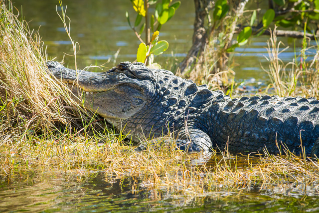 American Alligator, Canon 7D with Canon EF 500mm, 1/400s @ f/8.0, ISO 800