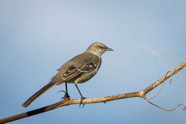 Northern Mockingbird, Canon 7D with Canon EF 500mm, 1/2500s @ f/8.0, ISO 800