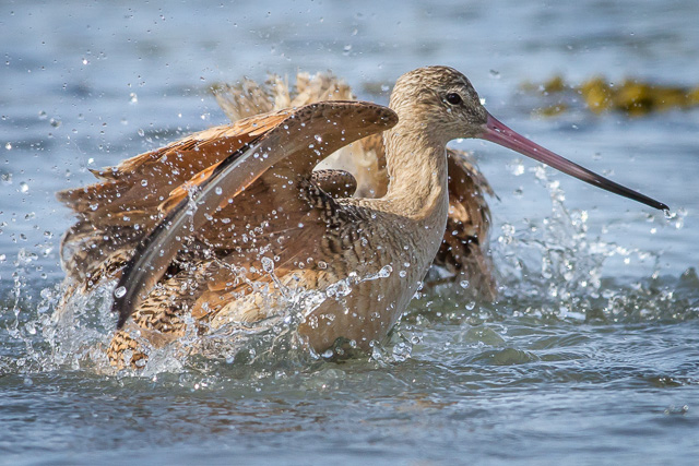 Marbled Godwit, Eureka, California, Canon 7D with Canon EF 500mm, 1/2000s @ f/8, ISO 800
