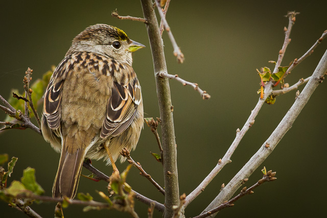 Golden-crowned Sparrow, Bear Valley Visitor Center, Point Reyes National Seashore, California, Canon 7D with Canon EF 500mm, 1/250s @ f/8, ISO 800