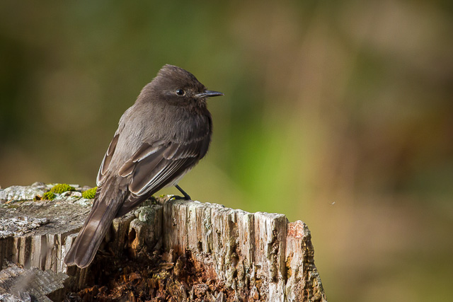 Black Phoebe, Kule Loklo Trail, Point Reyes National Seashore, California, Canon 7D with Canon EF 500mm, 1/125s @ f/8, ISO 800