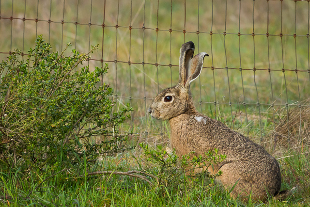 Black-tailed Jackrabbit, Kule Loklo Trail, Point Reyes National Seashore, California, Canon 7D with Canon EF 500mm, 1/500s @ f/8, ISO 800