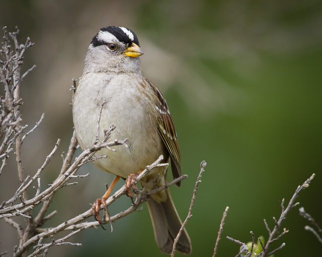 White-crowned Sparrow, Bear Valley Visitor Center, Point Reyes National Seashore, California, Canon 7D with Canon EF 500mm, 1/1600s @ f/8, ISO 800