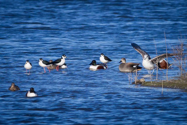 Black-necked Stilts, Novato, California, Canon 7D with Canon EF 500mm, 1/2500s @ f/8, ISO 800