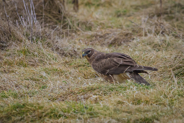 Northern Harrier, Humboldt Bay National Wildlife Refuge, California, Canon 7D with Canon EF 500mm, 1/1600s @ f/8, ISO 800