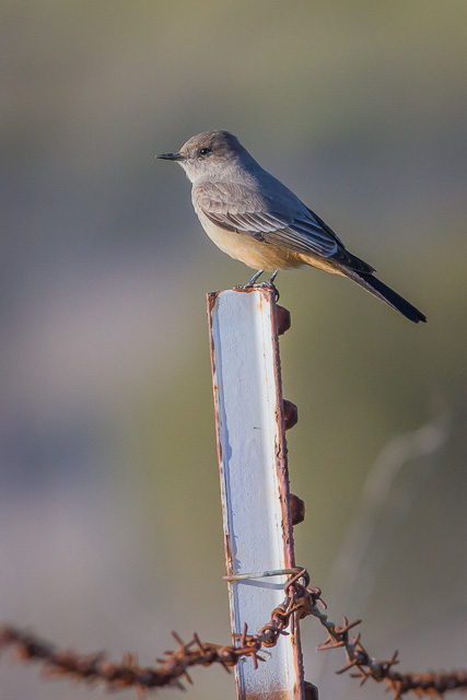 Say's Phoebe, Novato, California, Canon 7D with Canon EF 500mm, 1/2000s @ f/8, ISO 800