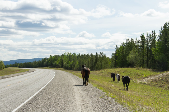 Horses beside Alaska Highway, Yukon, Canon 7D with Canon EF 28-300mm @ 65mm, 1/4000s @ f/8, ISO 1600