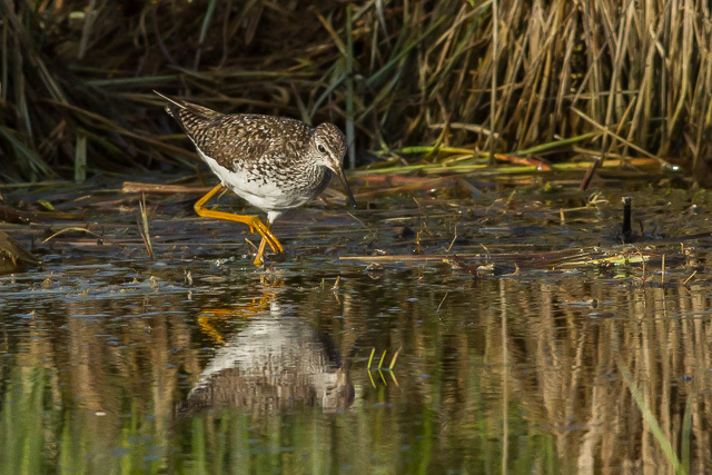 Lesser Yellowlegs, Atlin, British Columbia, Canon 7D with Canon EF 500mm, 1/3200s @ f/8, ISO 1600