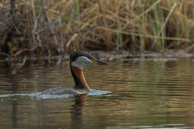 Red-necked Grebe, lake at Snag Junction, Yukon, Canon 7D with Canon EF 28-300mm @ 300mm, 1/250s @ f/8, ISO 1600