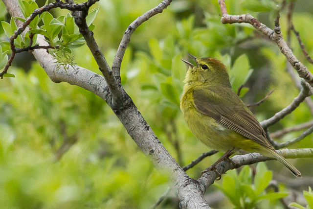Orange-crowned Warbler, Kluane River Overlook Rest Area, Yukon, Canon 7D with Canon EF 500mm, 1/1250s @ f/8, ISO 1600