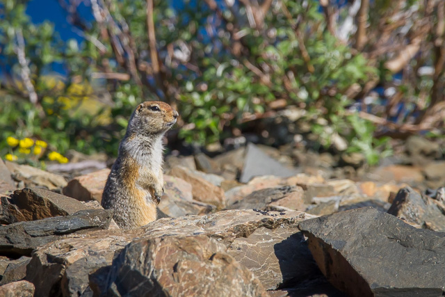 Arctic Ground Squirrel, King's Throne, Kluane National Park, Yukon, Canon 7D with Canon EF 28-300mm @ 300mm, 1/2000s @ f/8, ISO 1600