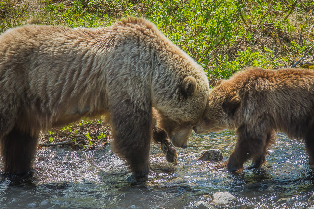 Grizzly Bear mother and cub, Haines Road, Yukon, Canon 7D with Canon EF 28-300mm @ 220mm, 1/1250s @ f/8, ISO 1600