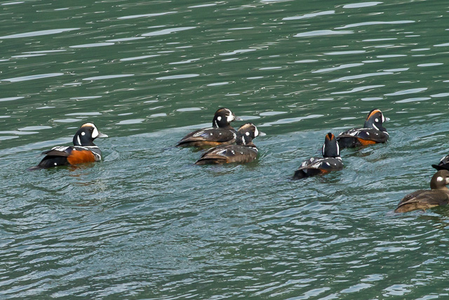 Harlequin Ducks, Lutak Road, Haines, Alaska, Canon 7D with Canon EF 500mm, 1/3200s at f/8, ISO 1600
