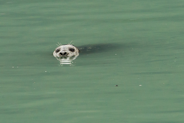 Harbour Seal, Stewart, British Columbia, Canon 7D with Canon EF 500mm, 1/125s at f/8, ISO 1600