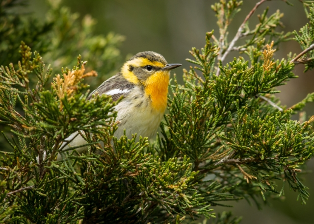 Blackburnian Warbler, Prince Edward Point National Wildlife Area, Ontario
