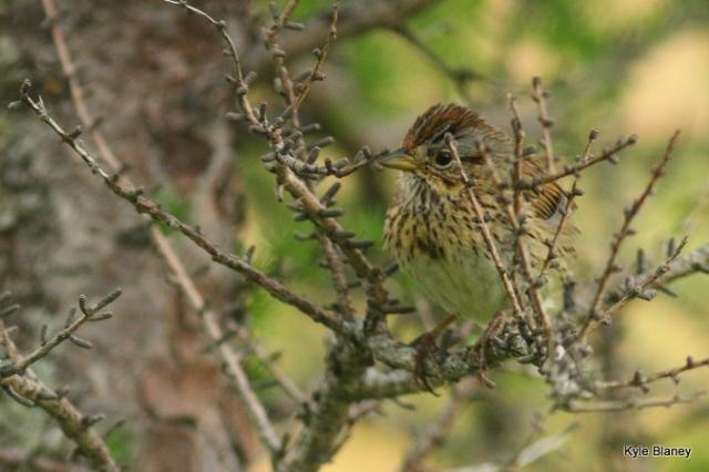 Lincoln's Sparrow, Newfoundland, Canada