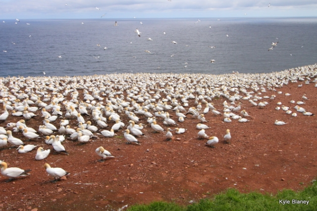 Northern Gannet colony, Parc national de l'Île-Bonaventure-et-du-Rocher-Percé, Québec, Canada