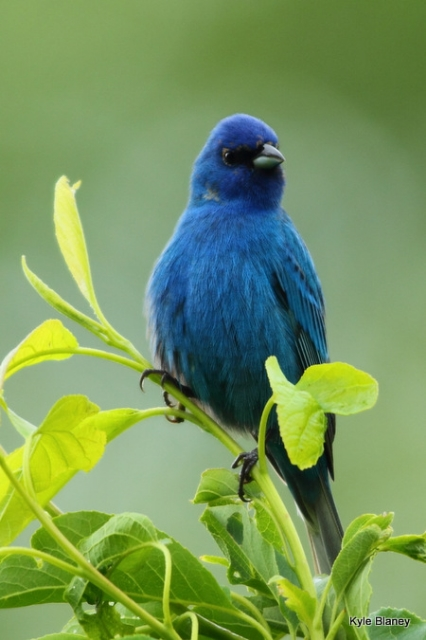 Indigo Bunting, Great Smoky Mountains National Park, Tennessee, USA