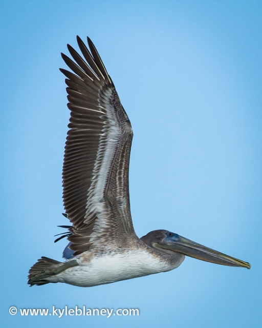 Brown Pelican, St. John's Fishing Pier Beach, St. Augustine, Florida, USA